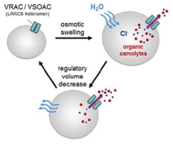 Volume-regulated anion channel VRAC as a target in drug discovery